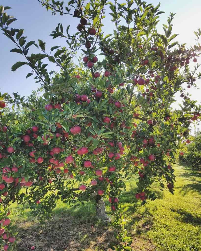 ripe apples | Mollie Delicious | Hillside Acres | apple orchard | U-pick apples