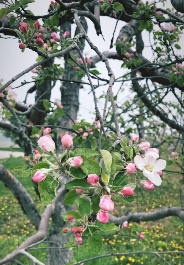 apple blooms   Hillside Acres   spring in apple orchard