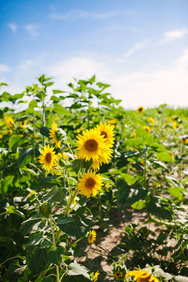 Sunflower trail | Hillside Acres | sunflowers | sunflower patch | u-pick | sunflower field