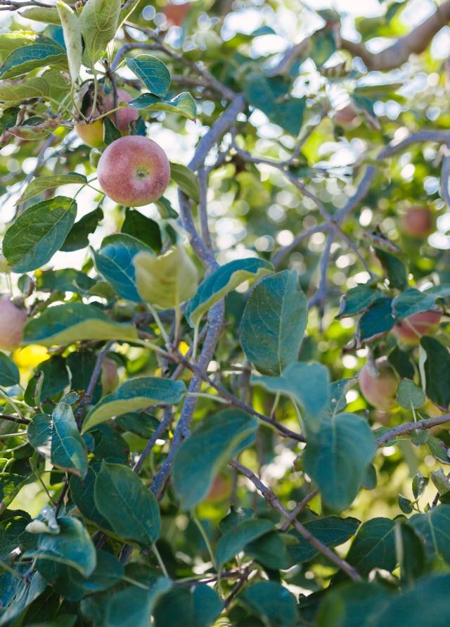 Apple Tree | Apple Orchard | Hillside Acres