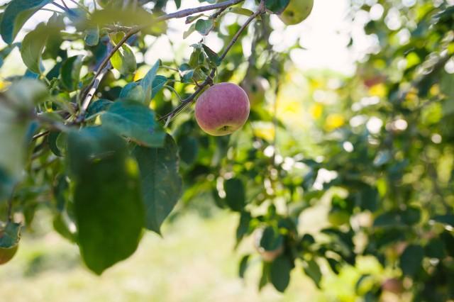 apples | fresh apple | fruit | orchard | hillside acres | summer time | mcintosh | eat well