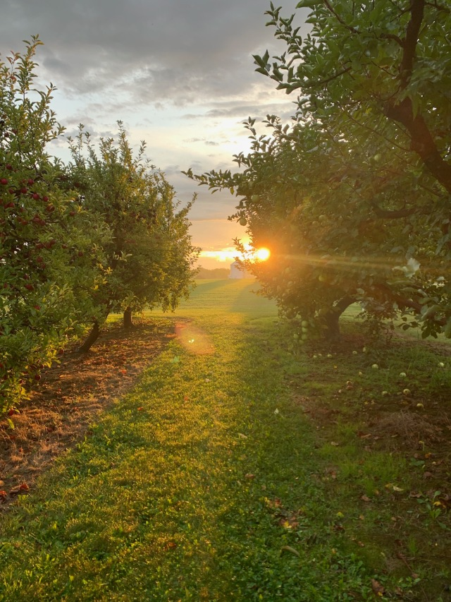 apple orchard | Hillside Acres | Mutsu | Cortland |