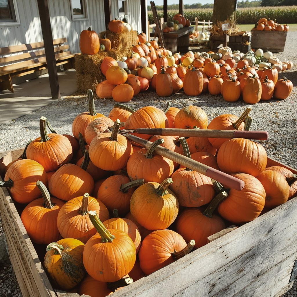 farm fresh pumpkins | hillside acres | bin of pumpkins | pie pumpkins | orange pumpkins | u-pick farm