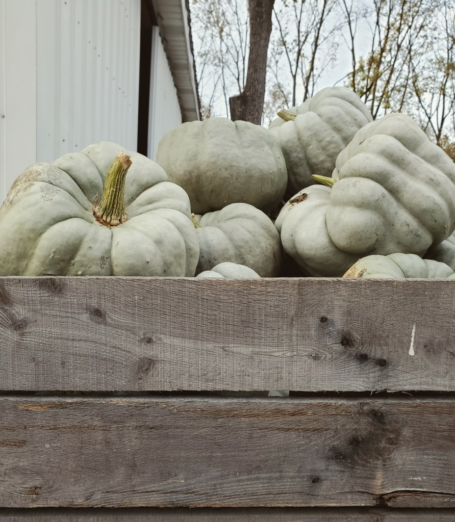 farm fresh pumpkins | specialty pumpkins | blue dolls | bin of pumpkins | Hillside Acres | stokes pumpkins